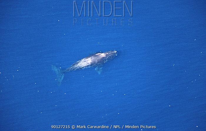 North Pacific Right Whale (Eubalaena japonica) surfacing, Baja California, Mexico  -  Mark Carwardine/ npl