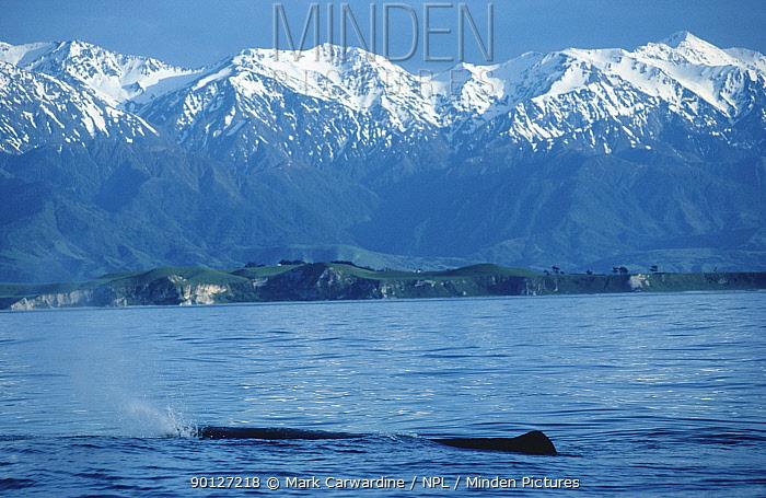Sperm whale logging (Physeter macrocephalus) Kaikoura, New Zealand  -  Mark Carwardine/ npl