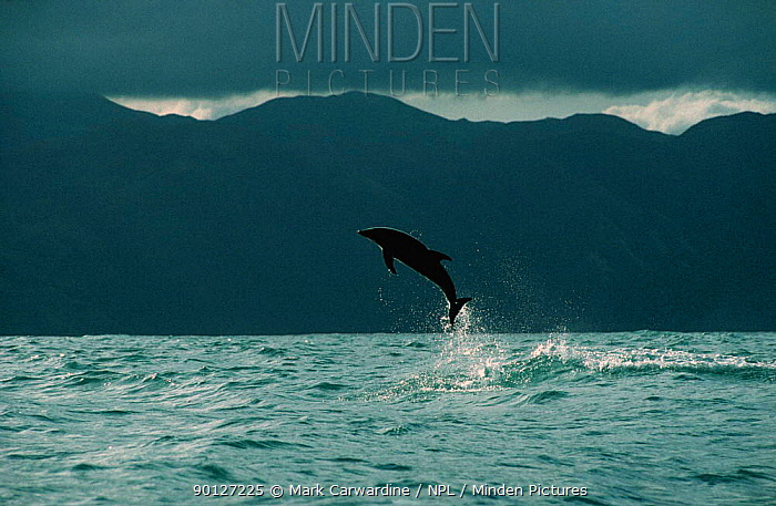 Dusky dolphin breaching (Lagenorhynchus obscurus) Kaikoura, New Zealand  -  Mark Carwardine/ npl