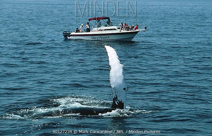 Watching Humpback whale from boat, New England, USA (Megaptera novaengliae)  -  Mark Carwardine/ npl