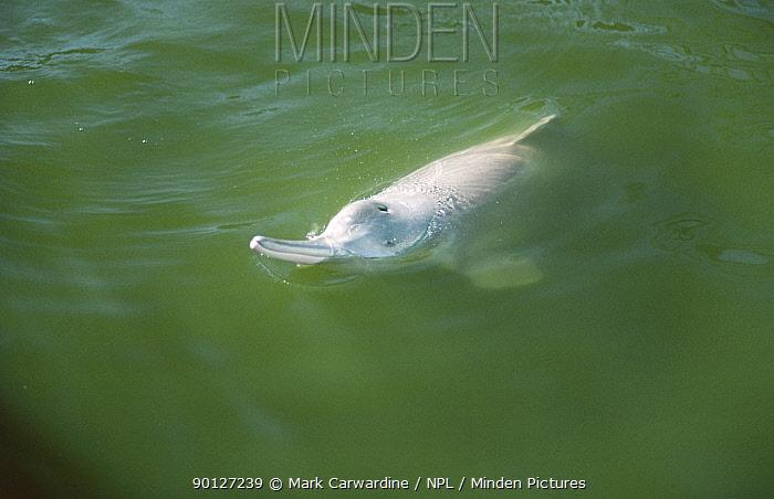Yangtze river dolphin (Lipotes vexillifer) captive, Wuhan, China, crit endangered  -  Mark Carwardine/ npl
