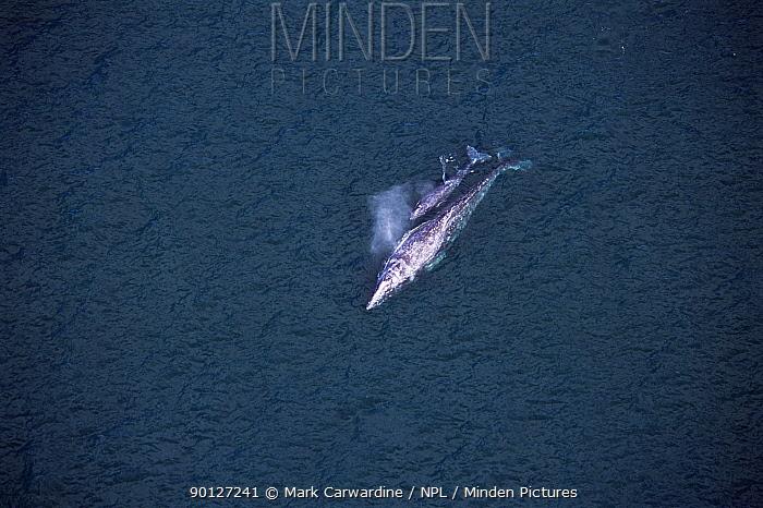 Aerial view of Grey whale with calf (Eschrichtus robustus) Baja California, Mexico  -  Mark Carwardine/ npl