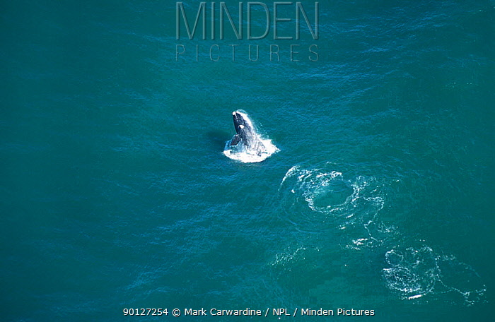 Aerial view of Southern right whale breaching, South Africa (Balaena glacialis)  -  Mark Carwardine/ npl