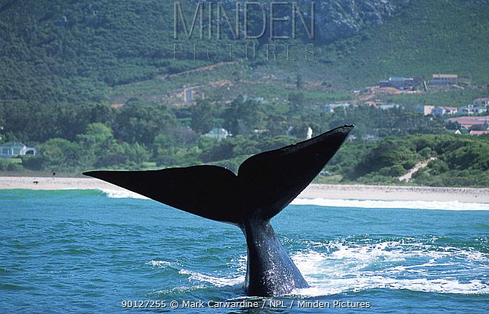 Southern right whale lobtailing, South Africa (Balaena glacialis australis)  -  Mark Carwardine/ npl