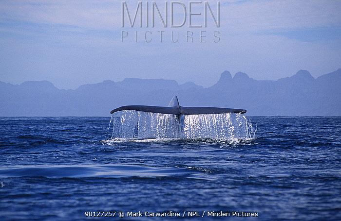 Blue whale fluking (Balaenoptera musculus) Sea of Cortez, Mexico  -  Mark Carwardine/ npl