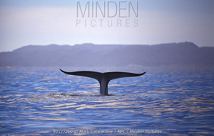 Fin whale (Balaenoptera physalus) fluking (rare behaviour in Fin whales), Sea of Cortez, Mexico  -  Mark Carwardine/ npl