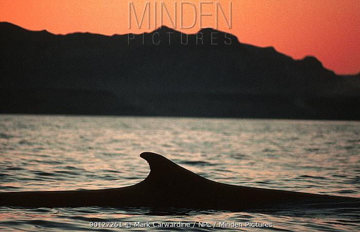 Fin whale surfacing at sunset, Sea of Cortez, Mexico (Balaenoptera physalus)  -  Mark Carwardine/ npl