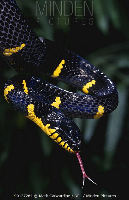 Mangrove, yellow-ringed cat snake with tongue out (Boiga dendrophila) captive, from Asia  -  Mark Carwardine/ npl