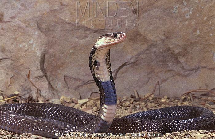 Asian monocled cobra hooding (Naja naja) captive  -  Mark Carwardine/ npl