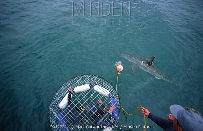 Divers in cage watching Great white sharks, Dyer Is, Western Cape, South Africa  -  Mark Carwardine/ npl