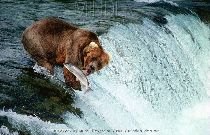 Brown bear fishing catching salmon at waterfall, Katmai NP, Alaska, USA (Ursus arctos)  -  Mark Carwardine/ npl