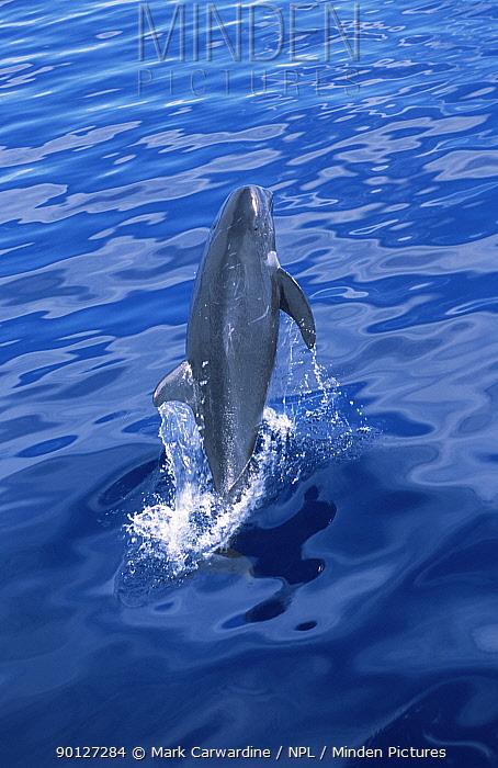 Risso's dolphin breaching (Grampus griseus) The Maldives  -  Mark Carwardine/ npl