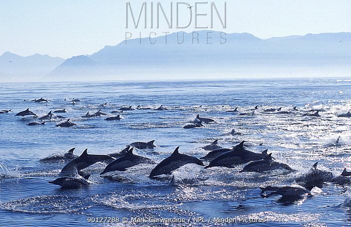Large school of Common dolphins feed on Sardines, False Bay, W Cape, S Africa (Delphinus  -  Mark Carwardine/ npl