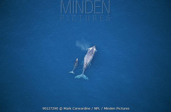 Aerial Humpback whale mother and calf (Megaptera novaeangliae) Sea of Cortez,  -  Mark Carwardine/ npl