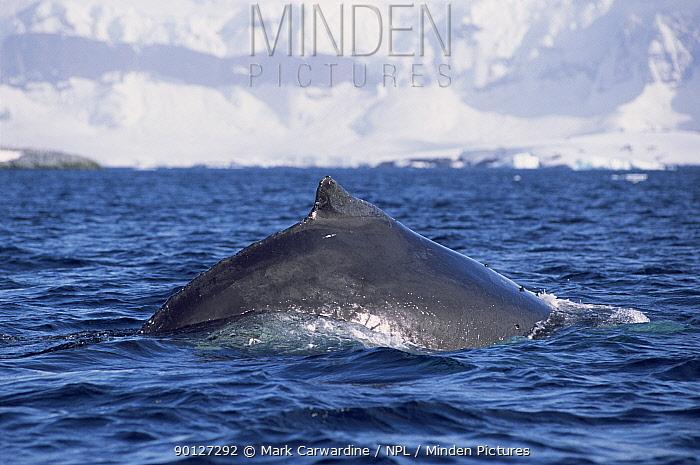 Humpback whale diving (Megaptera novaeangliae) South Sheltand Is, Antarctica  -  Mark Carwardine/ npl