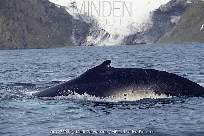 Humpback whale surfacing (Megaptera novaeangliae) South Sheltand Is, Antarctica  -  Mark Carwardine/ npl