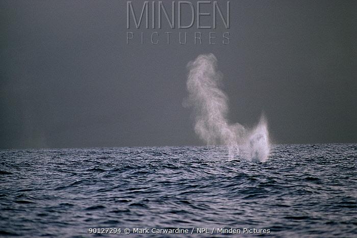Humpback whale spouting (Megaptera novaeangliae) Hawaii  -  Mark Carwardine/ npl