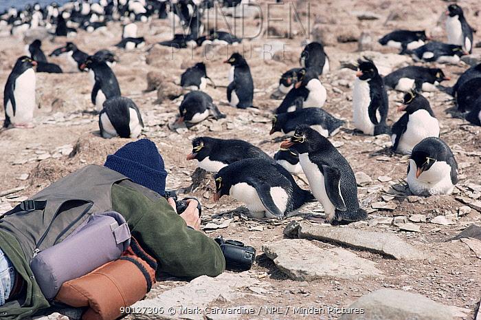 Photographer with Rockhopper penguins (Eudyptes chrysocome, crestatus) Falkland Is  -  Mark Carwardine/ npl