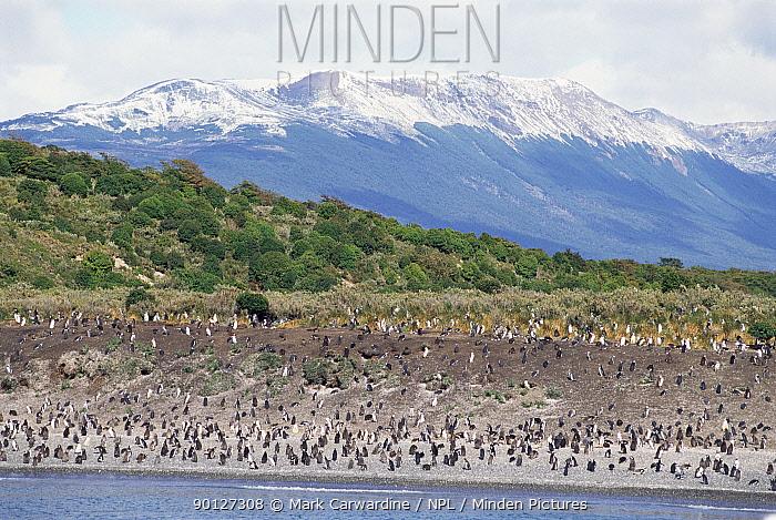 Magellanic, Jackass penguin colony (Spheniscus magellani) Tierra del Fuego,  -  Mark Carwardine/ npl