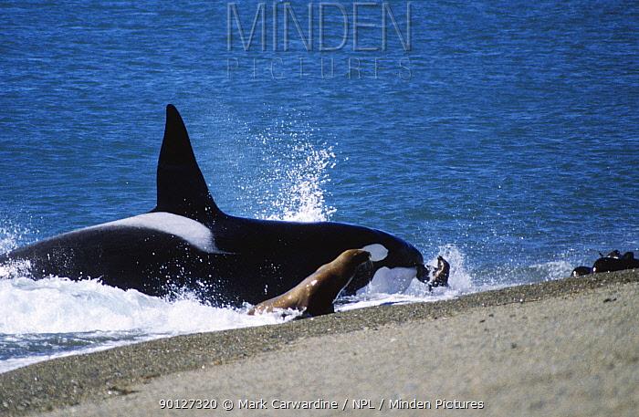 Killer whale (Orcinus orca) hunting sealion pup Patagonia, Argentina  -  Mark Carwardine/ npl