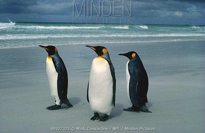 Three King penguins on beach (Aptenodytes patagoni) Falkland Islands  -  Mark Carwardine/ npl