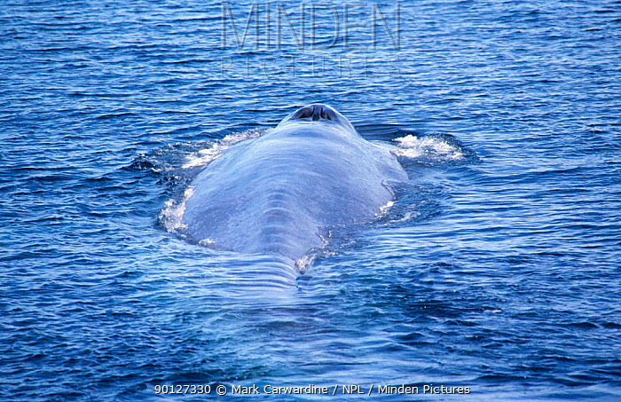 Blue whale surfacing, showing blow hole, Mexico (Balaenoptera musculus) Sea of Cortez, Mexico  -  Mark Carwardine/ npl