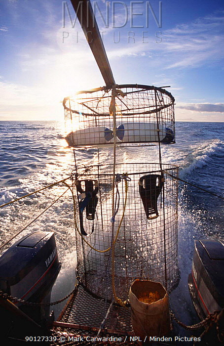 Cage for watching Great white sharks in the sea, Western Cape, South Africa  -  Mark Carwardine/ npl