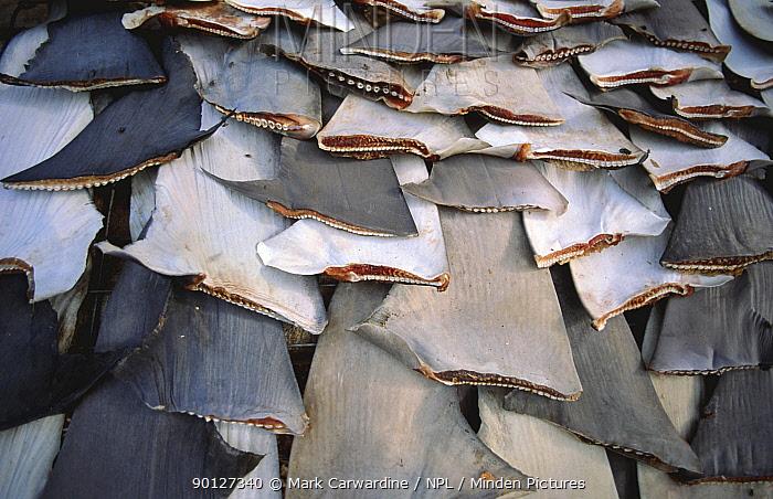 Shark fins drying in the sun, Trincomalee, Sri Lanka  -  Mark Carwardine/ npl