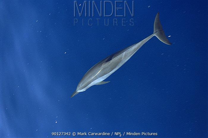 Common dolphin surfacing (Delphinus delphis) Mexico, Sea of Cortez  -  Mark Carwardine/ npl