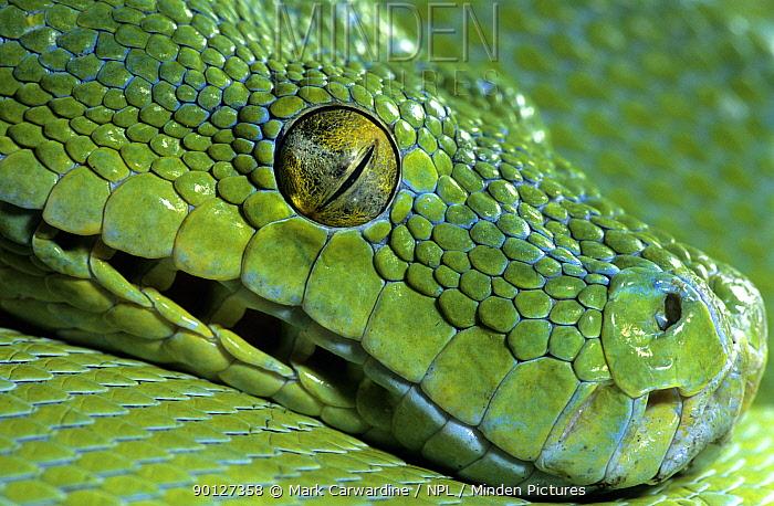 Green tree python (Chondopython, Morelia viridis) captive, from rainforests of New Guinea and extreme northern Queensland  -  Mark Carwardine/ npl