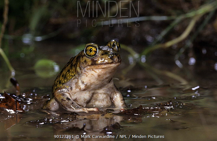 Couch's spadefoot toad (Scaphiopus couchii) captive, from central america,  -  Mark Carwardine/ npl