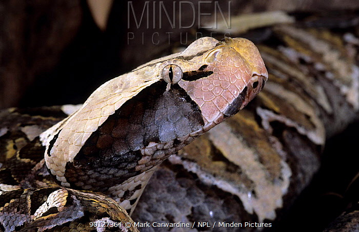 Gaboon viper (Bitis gabonica) captive, from  -  Mark Carwardine/ npl