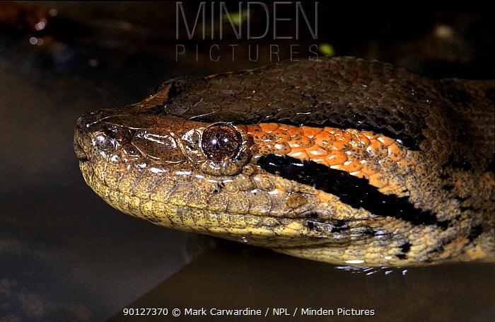 Green anaconda (Eunectes murinus) in water, captive, from South America  -  Mark Carwardine/ npl