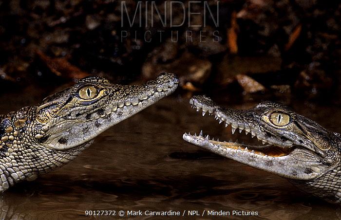 Two juvenile Nile crocodiles (Crocodylus niloticus) captive, from Africa  -  Mark Carwardine/ npl