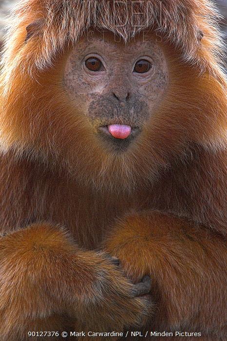 Javan langur, leaf monkey (Trachypithecus, Presbytis auratus) sticking out tongue, Endangered, captive, from Indonesia, Bristol Zoo  -  Mark Carwardine/ npl
