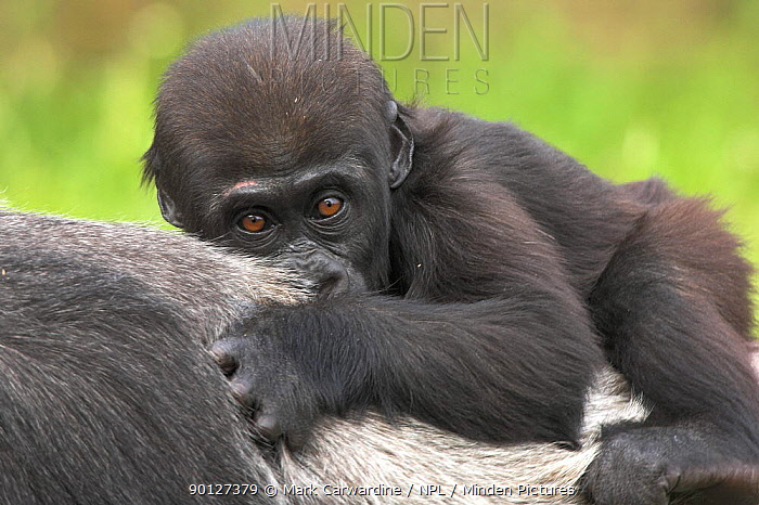 Western lowland gorilla (Gorilla gorilla gorilla) baby lying on mother's back, captive, from rainforests of West and Central Africa, Endangered species, Bristol Zoo  -  Mark Carwardine/ npl