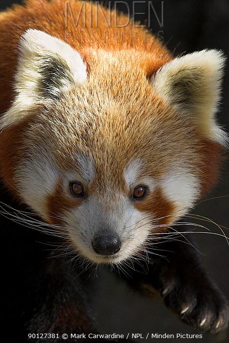 Red panda (Ailurus fulgens) captive, from High altitude forests of Asia, Endangered, Bristol Zoo  -  Mark Carwardine/ npl
