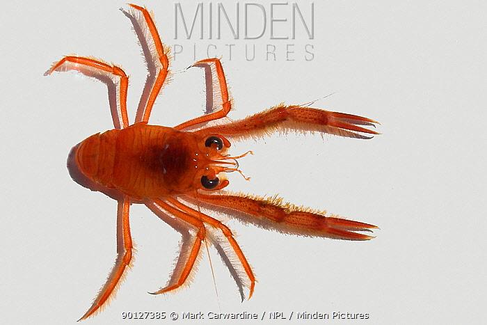 Pelagic red crab (Pleuroncodes planipes) Major food source of blue whales, North Pacific, Baja California, Mexico  -  Mark Carwardine/ npl