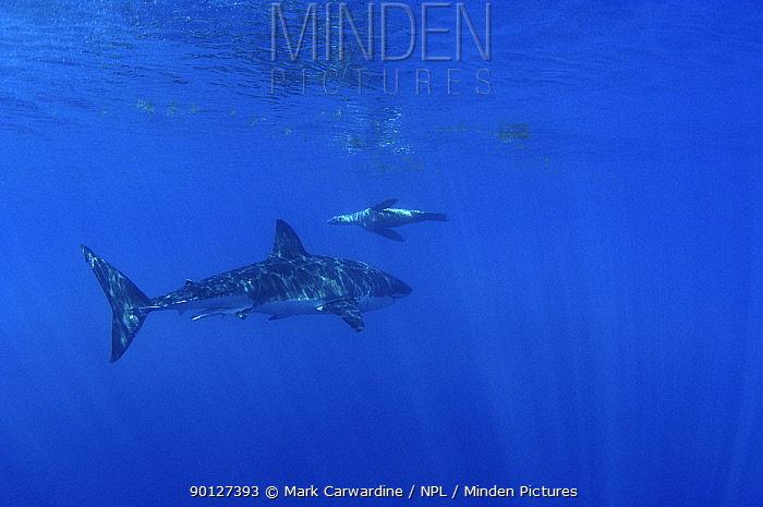 Great white shark (Carcharodon carcharias) and Californian sealion (Zalophus californianus)  -  Mark Carwardine/ npl