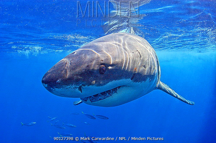 Great white shark (Carcharodon carcharias) underwater, Guadalupe Island, Mexico (North Pacific)  -  Mark Carwardine/ npl