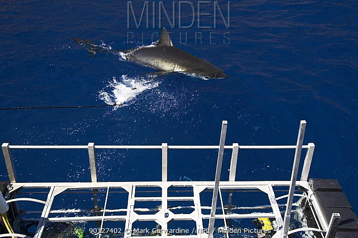 Cage-diving with Great white shark (Carcharodon carcharias) Guadalupe Island, Mexico (North Pacific)  -  Mark Carwardine/ npl