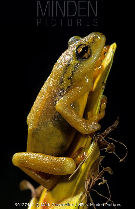 Marbled, Cagle's, Painted reed frog (Hyperolius marmoratus) captive, from rainforests of East Africa  -  Mark Carwardine/ npl