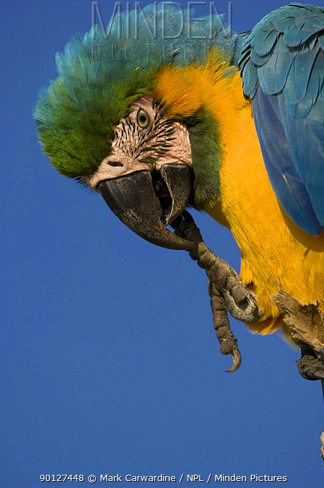 Blue-and-yellow macaw (Ara ararauna) with claw in mouth, Rio Negro, Amazon Basin, Brazil, Wild  -  Mark Carwardine/ npl