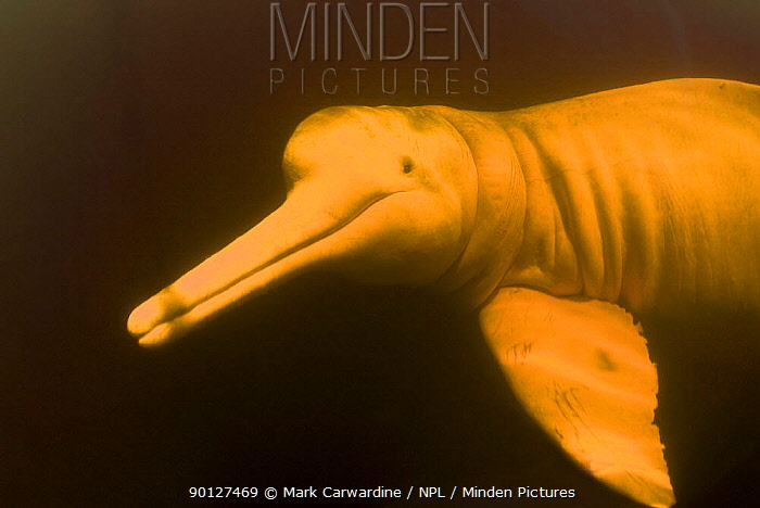 Amazon, pink river dolphin, boto (Inia geoffrensis) Rio Negro, Brazil (Amazon) wild animal underwater in tannin rich river, Threatened species (IUCN Red List)  -  Mark Carwardine/ npl