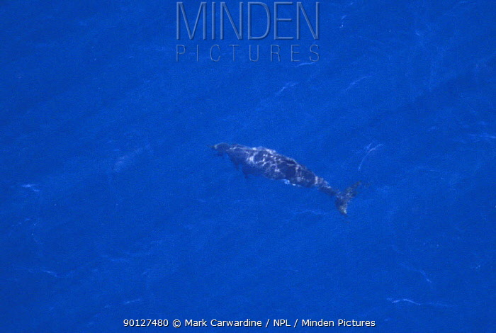 Aerial view of Beaked whale, almost certainly Peruvian, Lesser beaked whale (Mesoplodon peruvianus) (virtually no confirmed records of sightings in the wild) Sea of Cortez (Gulf of California), Baja California, Mexico  -  Mark Carwardine/ npl