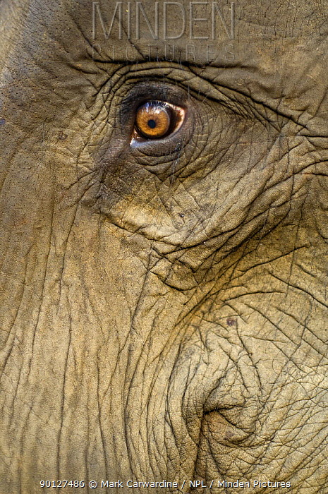 Close up of Indian elephant eye (Elephas maximus), captive animal used by anti-poaching patrols, Alaungdaw Kathapa National Park, north-west Burma (Myanmar)  -  Mark Carwardine/ npl