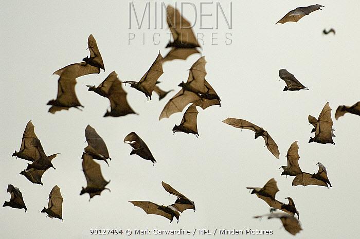 A cloud of Straw-coloured fruit bats (Eidolon helvum) flying, Kasanka National Park, Zambia, Africa  -  Mark Carwardine/ npl