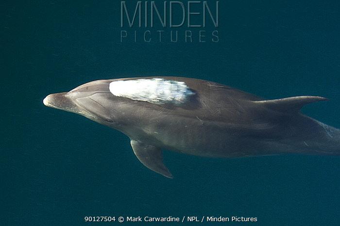 Common bottlenose dolphin (Tursiops truncatus) surfacing, Baja California, Sea of Cortez (Gulf of California), Mexico  -  Mark Carwardine/ npl