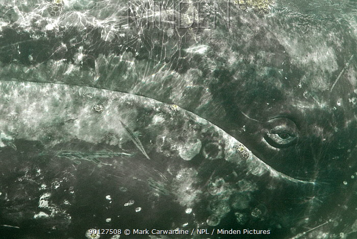 Grey whale (Eschrichtius robustus) close-up showing eye, San Ignacio Lagoon, Baja California, Mexico  -  Mark Carwardine/ npl