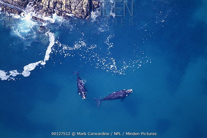 Aerial shot of two Southern right whale (Eubalaena glacialis australis) close to shore, Walker Bay, Western Cape, South Africa, Endangered species  -  Mark Carwardine/ npl